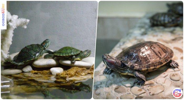 Морские черепахи дома. Место содержания рептилии